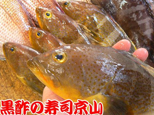 アオハタ 天然地魚