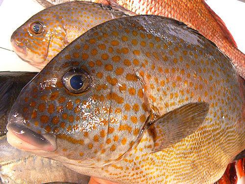 コロダイの成魚